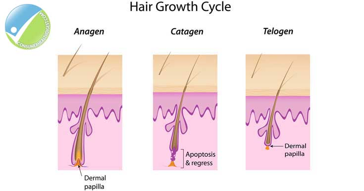 Stages of Eyelash Growth