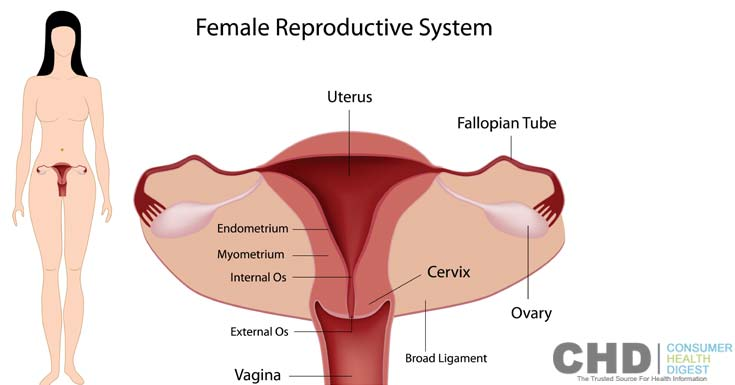 what is female reproductive system?, Sphenoid