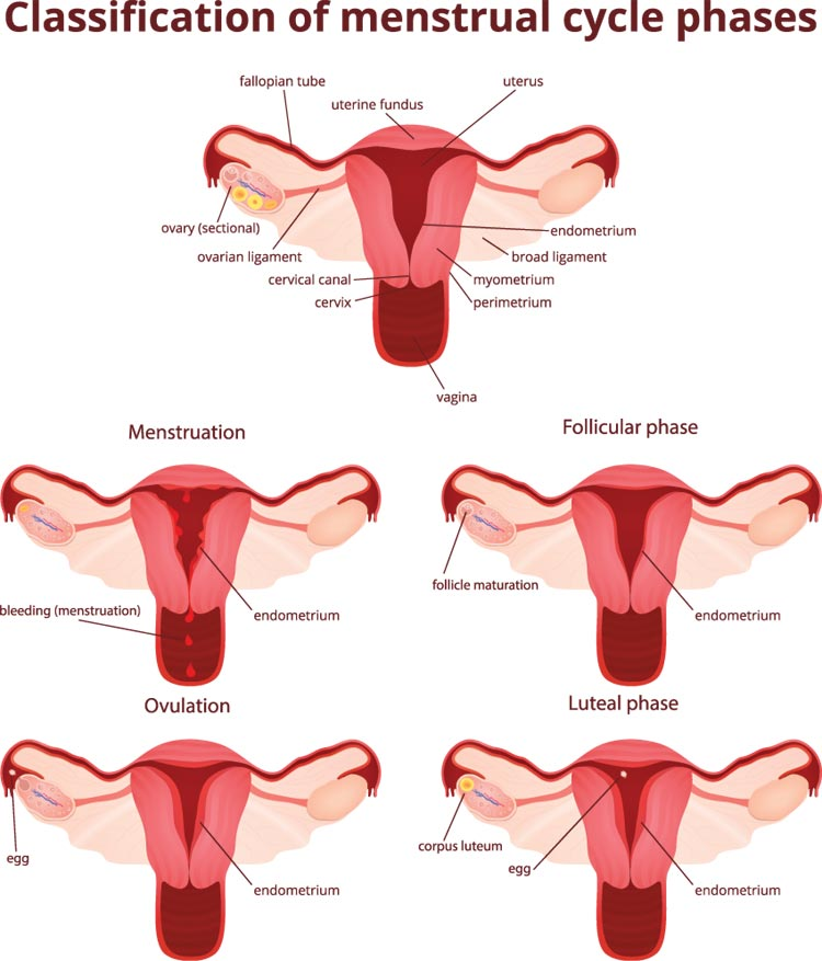 Classify Menstrual Cycle