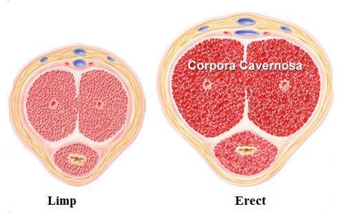 Corpora Carvenosa