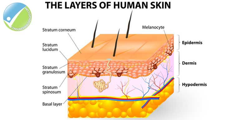 beyond skin deep: understanding the layers of the skin, Human Body