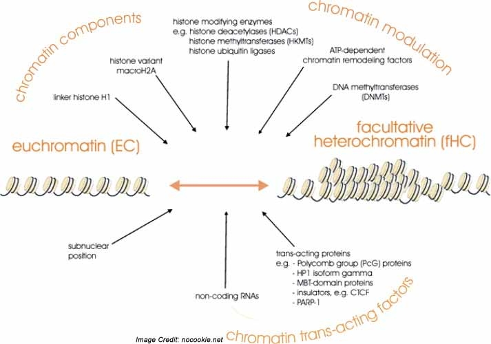 facultative-heterochromatin