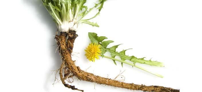 Dandellion root