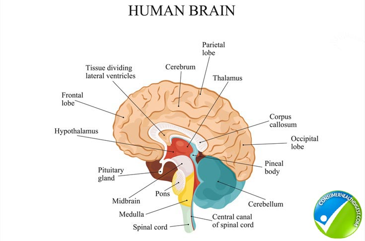 Overview Human Brain