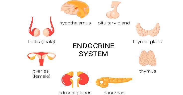 Endocrine System Detail