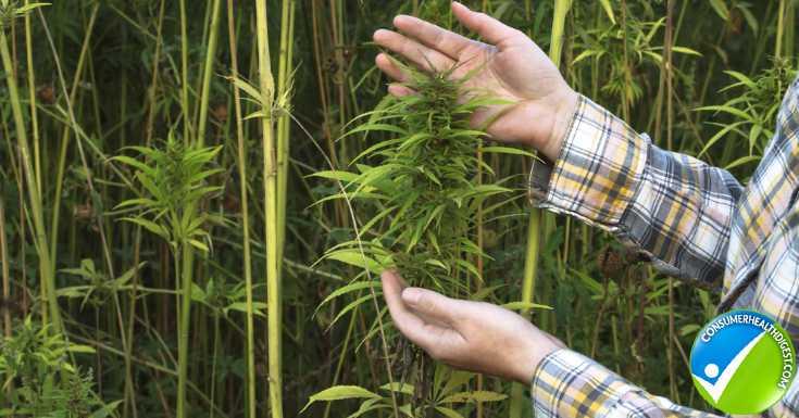 Hemp and Cannabis Crop