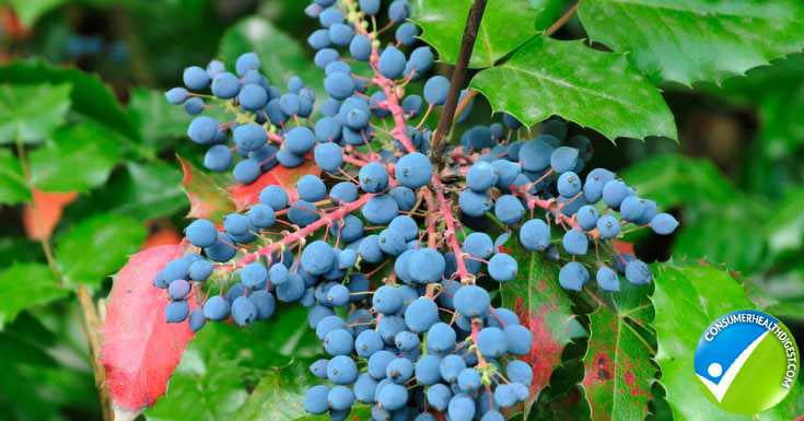 Oregon Grape Cleansing