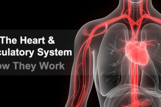 Blood Circulatory System Work