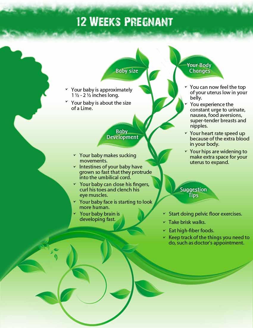 Info 12 week pregnant