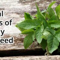 sexual-benefit-of-horny-goat-weed